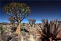 Picture Title - Aloe dichotoma