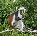 Picture Title - Red Colobus-Africa