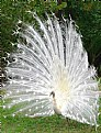 Picture Title - White Peacock