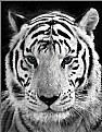Picture Title - White Tiger
