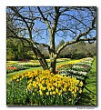 Picture Title - Tulips & Daffodils (d6429)