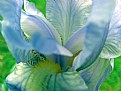 Picture Title - Bearded Iris