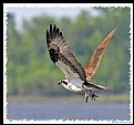 Picture Title - Osprey in Fleight