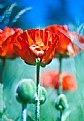 Picture Title - mountain poppies