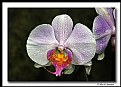 Picture Title - Phalenopsis Orchid (d6550)