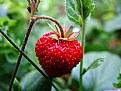 Picture Title - strawbery...