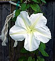 Picture Title - Moon Flower