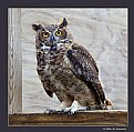 Picture Title - Horned Owl