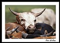 Picture Title - Nguni