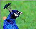 Picture Title - a peacock