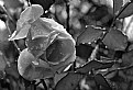 Picture Title - water rose
