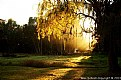 Picture Title - Willow Tree Sunrise