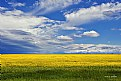 Picture Title - Canola Field