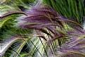Picture Title - Prairie Grasses