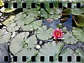 Picture Title - Ninfea (waterlily)...