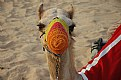 Picture Title - Colorful Camel