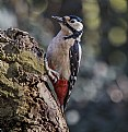 Picture Title - Great Spotted Woodpecker