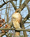 Picture Title - Red Tail Hawk