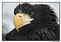 Picture Title - Eagle /portrait/