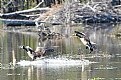 Picture Title - Geese Landing