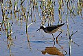 Picture Title - Long-billed Dowitcher