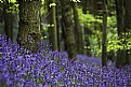 Picture Title - Bluebell Wood