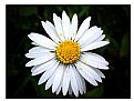 Picture Title - Wild Daisy... (Daisy Meadow)