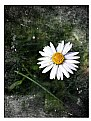 Picture Title - Old Daisy