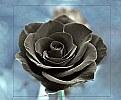 Black roza