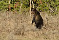 Picture Title - Yellowstone Grizzley