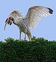 American Ibis