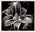 Picture Title - B & W Lily