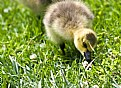 Picture Title - Duckling