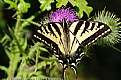 Picture Title - Swallowtail Butterfly