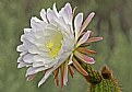 Picture Title - Cactus Flower