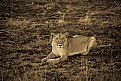 Picture Title - Lioness