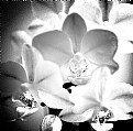 Picture Title - Phalaenopsis