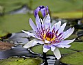 Picture Title - Purple Lily