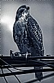 Picture Title - Red tailed hawk