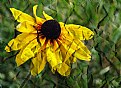 Picture Title - Brown Eyed Susan