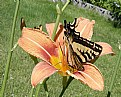 Picture Title - Swallowtail