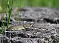 Picture Title - Rattle Snake