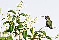 Picture Title - Branched Hummingbird