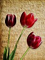 Picture Title - Three Tulips   & Sheet Music