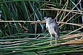 Picture Title - Black crowned night Heron