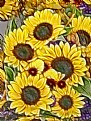 Picture Title - Sunflowers for The Master