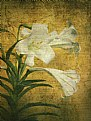 Picture Title - Antique Easter  Lily