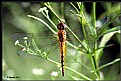 Picture Title - Yellow Marshy Dragon Fly