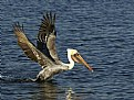 Picture Title - Pelican, Incoming