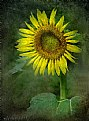 Bloom of Sun